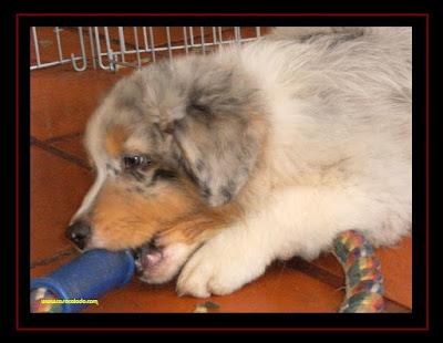 Australian Shepherd puppies 2 months