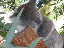 The Cute Koala in Perth Zoo