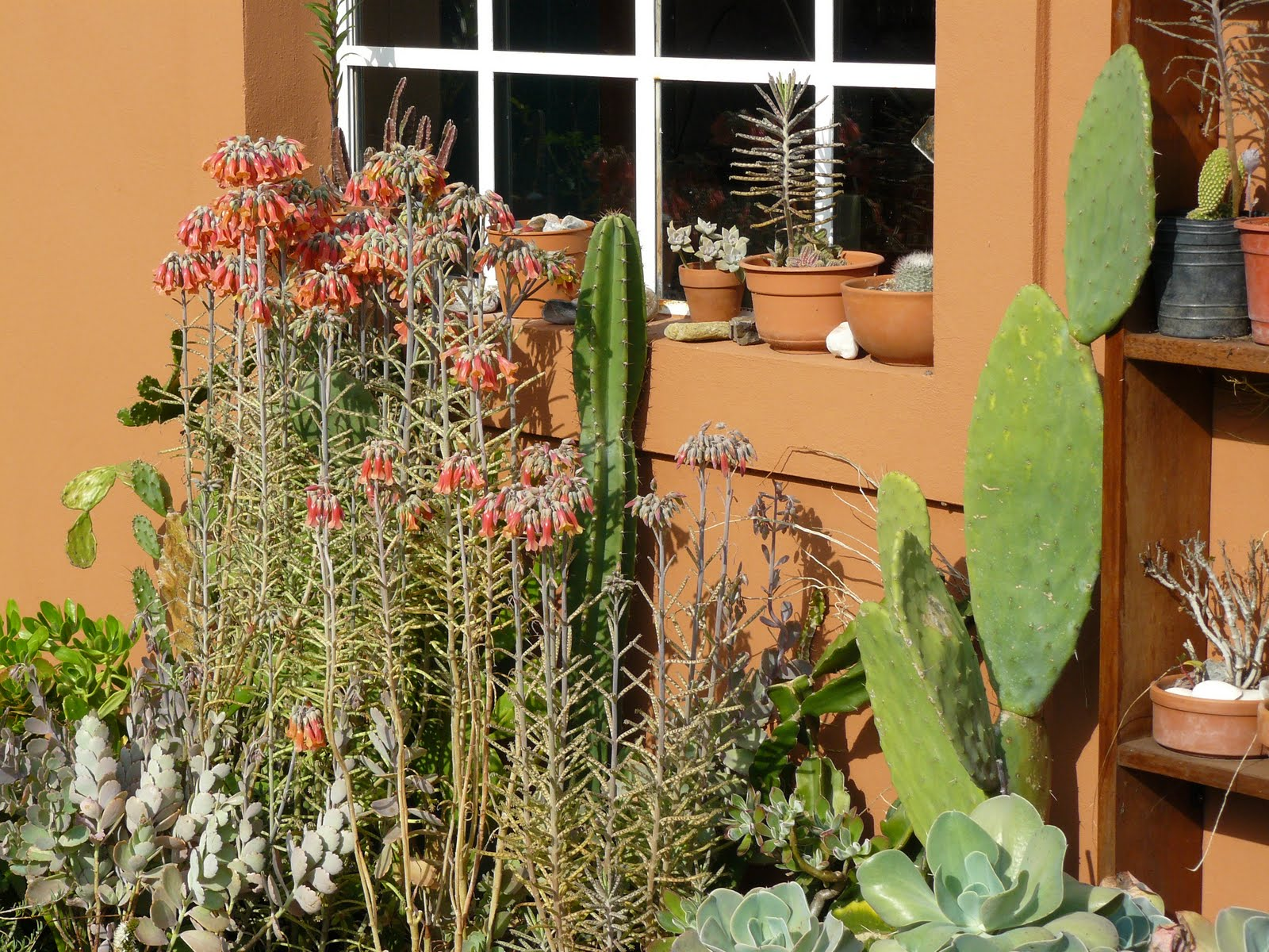 Jardines de cactus y suculentas kalanchoe tubiflora for Jardines con cactus