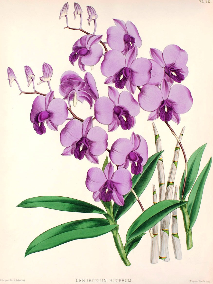 Orchid Tree Drawing Source is Swiss Orchid