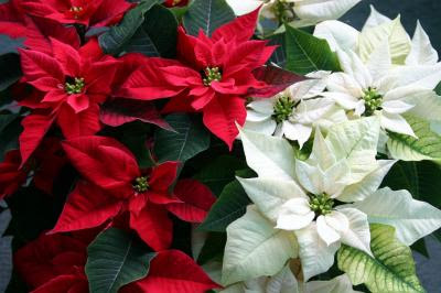 red and white poinsettia wallpaper for desktops