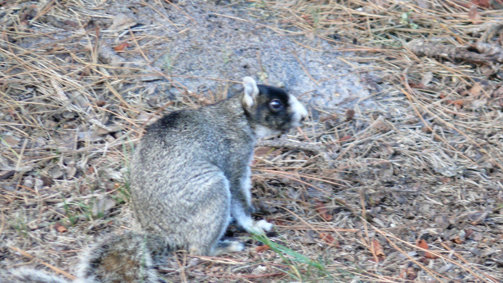Black Squirrels Myrtle Beach