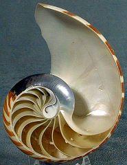 Concha de Nautilus (11K)