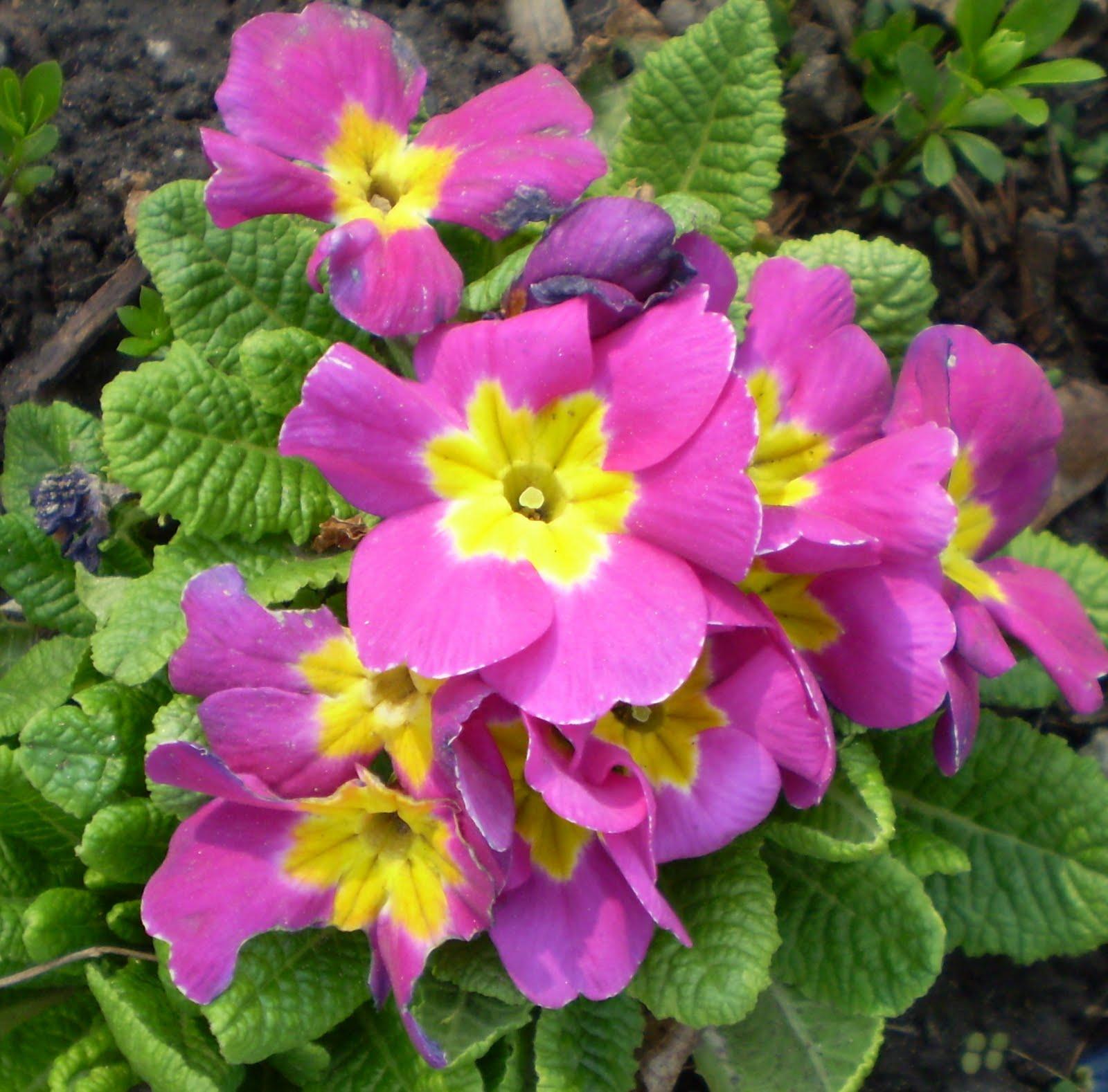 Primrose Flower Beautiful Flowers