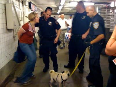pug arrest