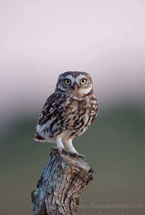 Glauxs Nest Bringing Owls To Athens