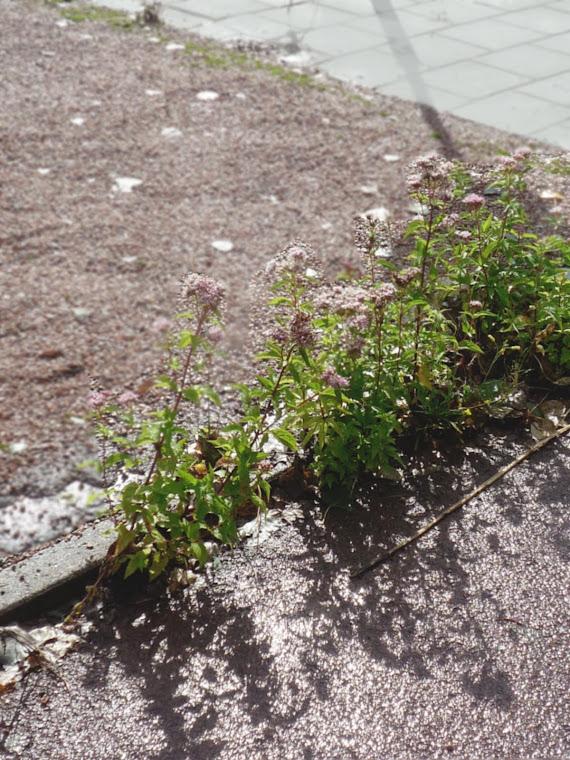 Onderhande - rose grind met wilde valeriaan