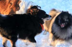 De snille hundene