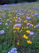 Verbena (Vervain) Loving Spring