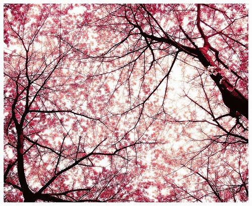 cherry tree blossom japan. A cherry blossom is the name