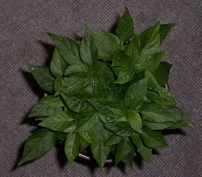 Neue Bilder der Naga Jolokia Pflanzen