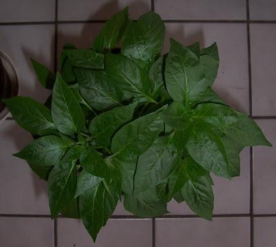 chili pflanze naga jolokia
