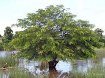 தமிழீழத் தேசிய மரம்