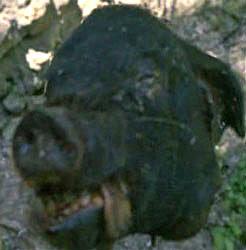 A cabeça do porco