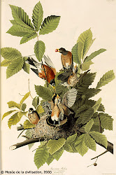 Audubon et la chute des merles rouges
