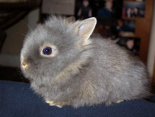 lion head dwarf bunny