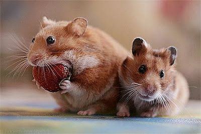 Два мышонка фото. Декоративные мышки картинка. Мышонок грызет клубнику.