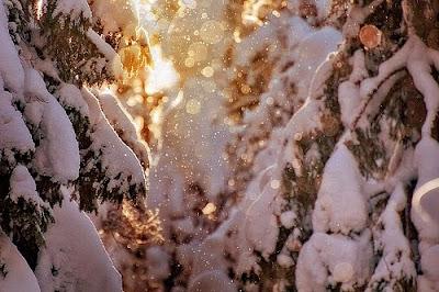 Зимние мотивы в лесу. Солнечный свет отражается от заснеженных елей, солнечные зайчики играют в объективе фотоаппарата. Зима в лесу. Мороз и солнце день чудесный. Изображение зимы скачать бесплатно.