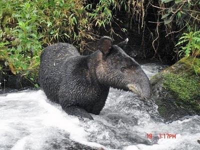 http://3.bp.blogspot.com/__wX94Pgmirc/S1M8ZLQ5KOI/AAAAAAAAA0k/lUnDnI6xlG0/s400/mountain_tapir_diego_lizcan.jpg