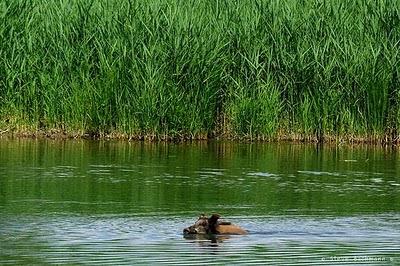 Swimming boar