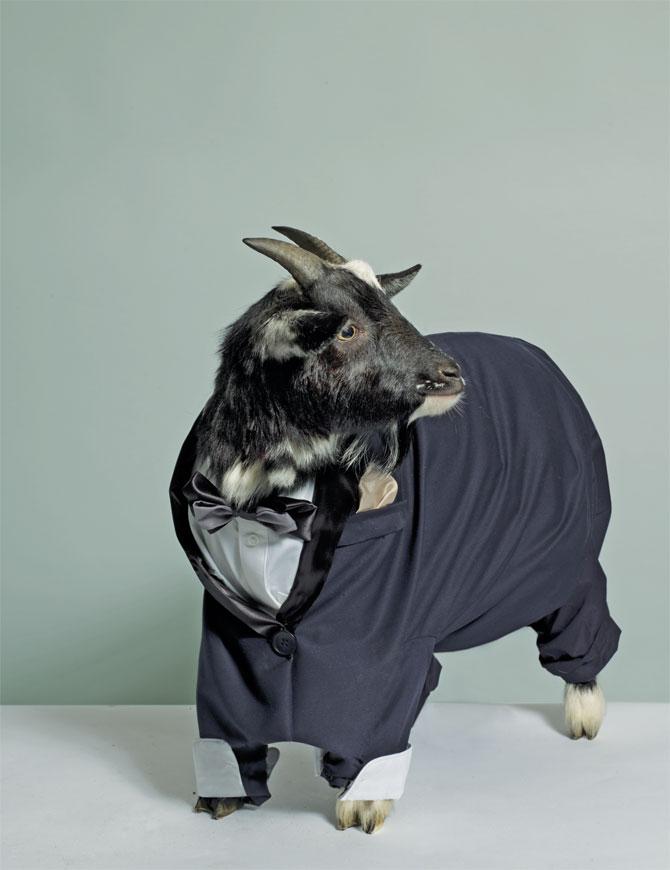 http://3.bp.blogspot.com/__wgTdCCrfeY/S8aPa7dDoeI/AAAAAAAAGAw/o5vvXg_aw0U/s1600/goat-in-blue-suit.jpg
