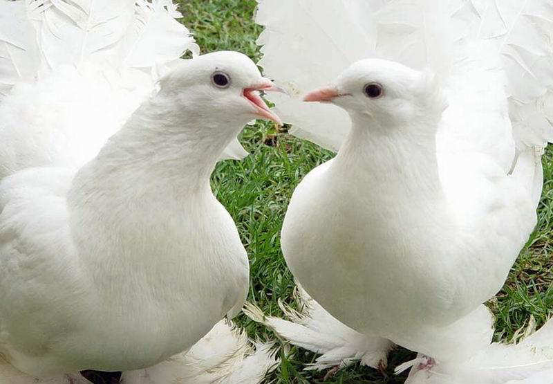 You2Bwill2Bnever2Bfind2BROyal2BPigeons2Bas2BBeautiful2Bas2Bthis2B 9  - Royal Pigeons : Beautiful