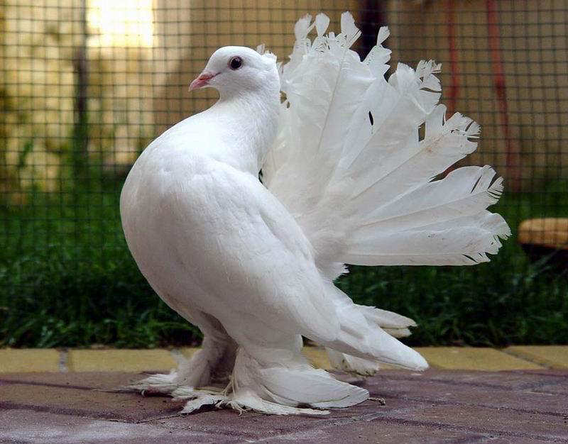 You2Bwill2Bnever2Bfind2BROyal2BPigeons2Bas2BBeautiful2Bas2Bthis2B 3  - Royal Pigeons : Beautiful