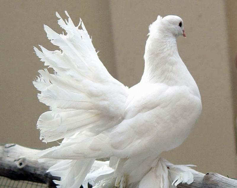You2Bwill2Bnever2Bfind2BROyal2BPigeons2Bas2BBeautiful2Bas2Bthis2B 2  - Royal Pigeons : Beautiful