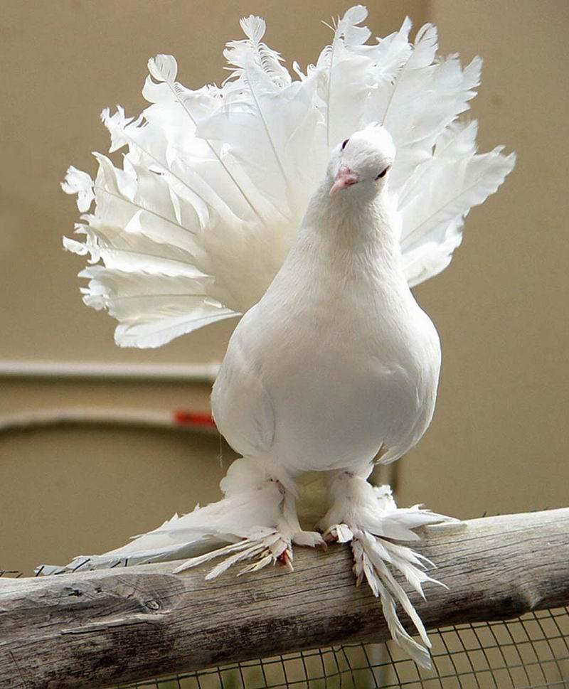 You2Bwill2Bnever2Bfind2BROyal2BPigeons2Bas2BBeautiful2Bas2Bthis2B 1  - Royal Pigeons : Beautiful