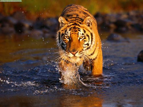 TigerBengal1.jpg