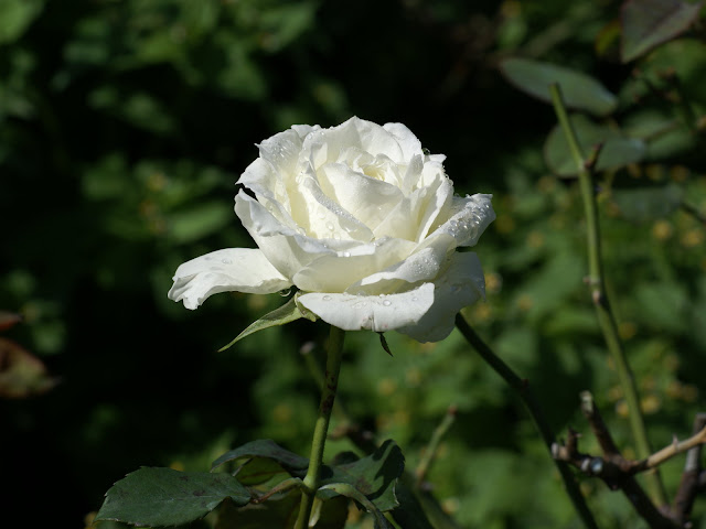 white rose wallpaper  Beautiful 9 Rose Flowers Pics