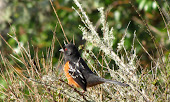 Rufous-sided or Spotted Towhee