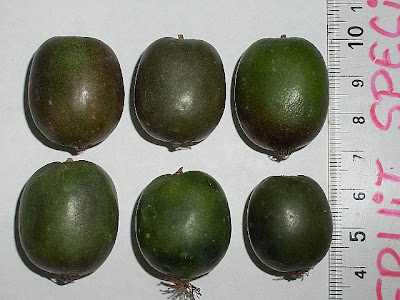 how to grow kiwifruit in nz