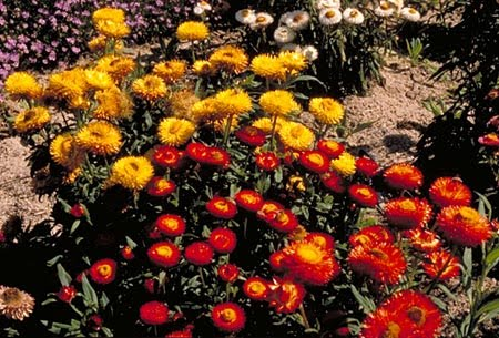 EVERLASTING/STRAWFLOWER