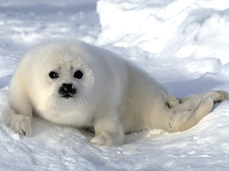 sealpup - Animal wallpaperz