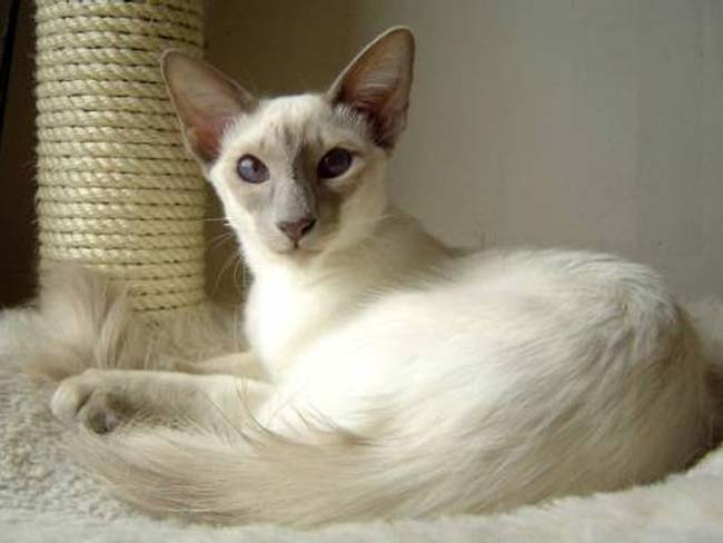 Ras balinese cat is a cat with
