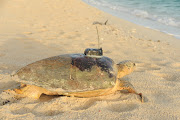 . of turtles that were tagged and released to the sea recently by a .