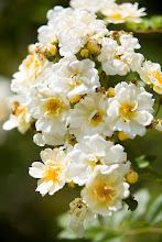 Rosa Helenae Hybrida  Kastros