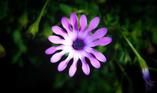 """""""Lilac Spoon"""" - Osteospermum hybrid"""