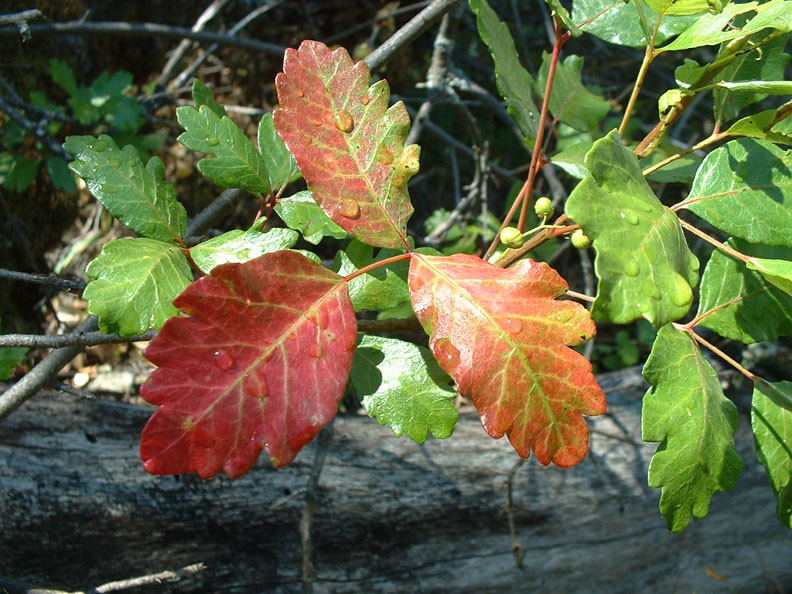 poison oak pictures on skin. hot Pacific Poison Oak grows