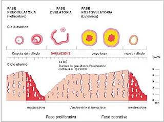 Ovulazione calcolo ovulazione sintomi ovulazione la durata del ciclo mestruale e il momento - Sensazione di bagnato prima del ciclo o gravidanza ...
