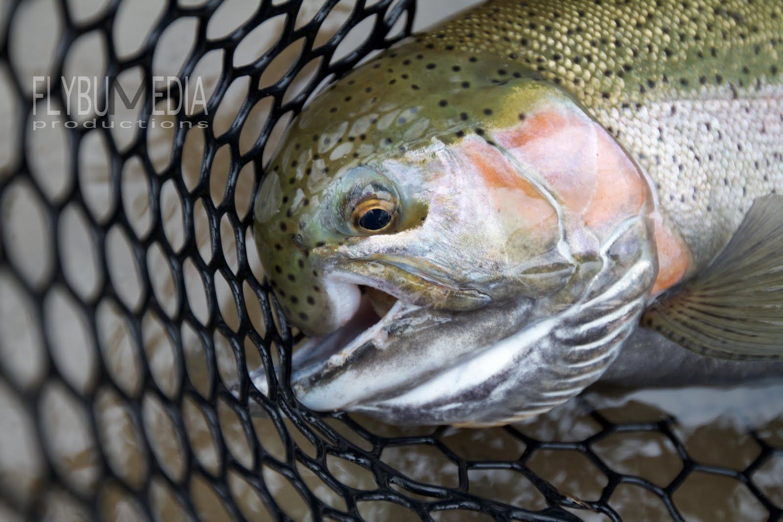 Steelhead alley outfitters lake erie fly fishing guide for Lake erie fish species