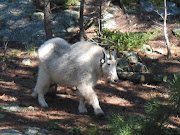 Miron the Mt Goat
