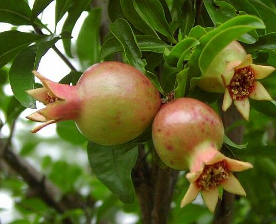 The Benefit of pomegranatesbuah delima