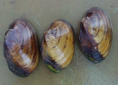 Di Itali pula  siput sudu biasa dimakan bersama makanan laut lain atau    Freshwater Mussels