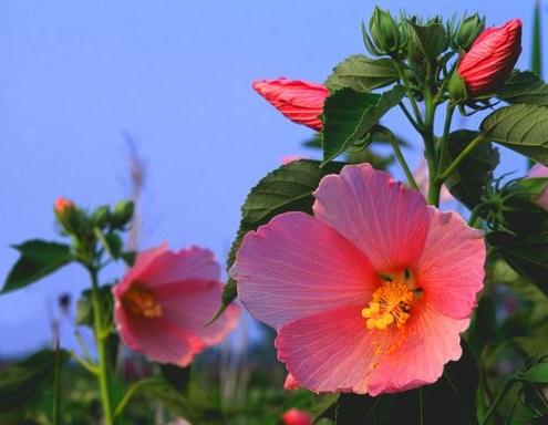 Rose mallow adalah bunga liar dengan yang besar, bunga-bunga indah