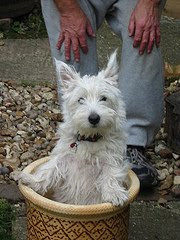 How to Grow  a Westie