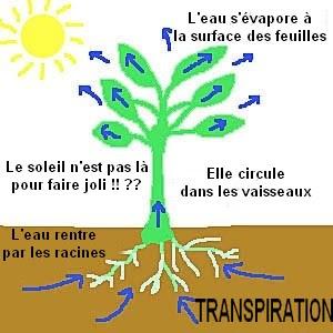 la transpiration de la plante