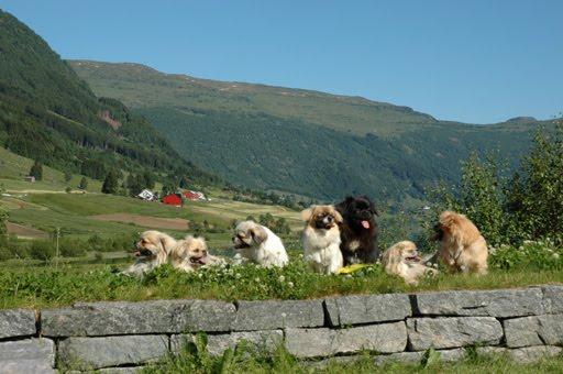 Tibeti spániel kutyacsapat