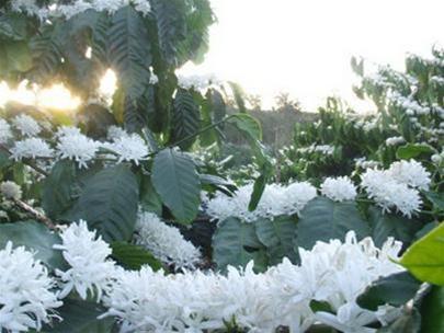 hoa cà phê nở hoa cà phê gu cafe là gì cảnh đẹp cà phê Cà phê tây nguyên  Khi hoa cà phê nở...